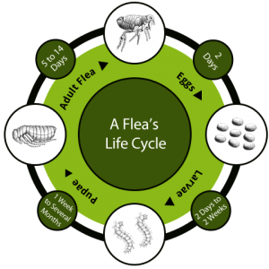 flea_life_cycle